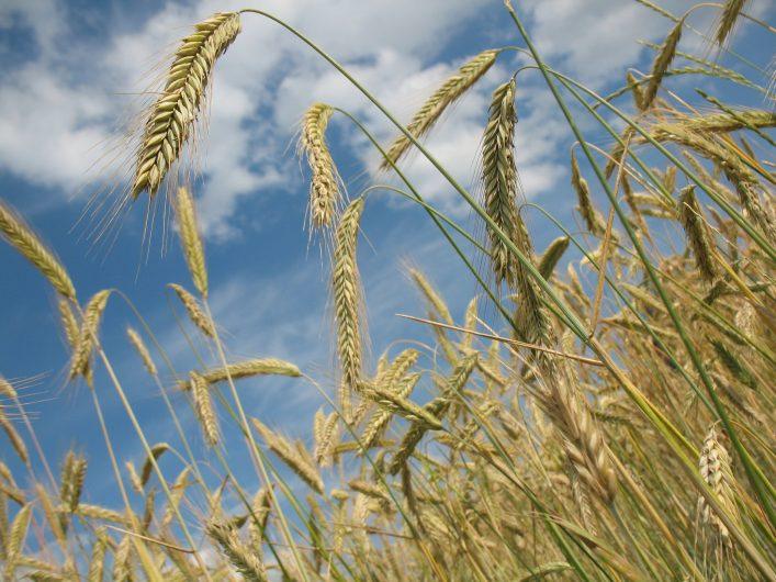 les épis de blé d'un champ