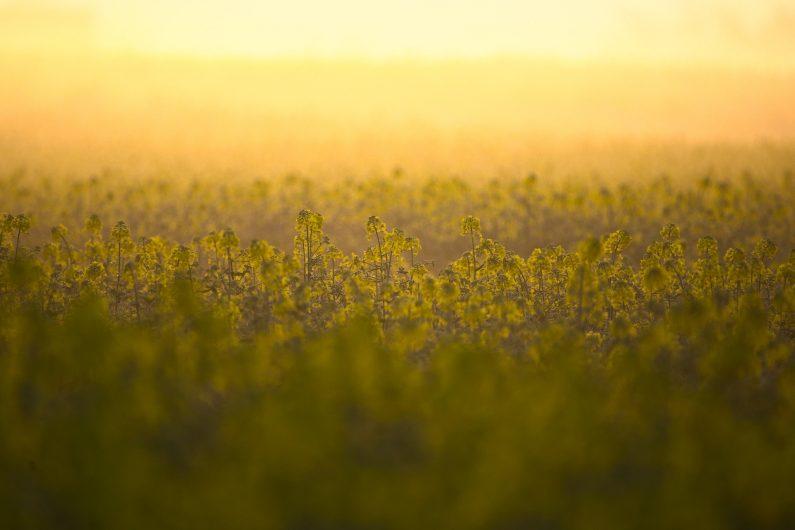 Champ de colza aux fleurs jaunes