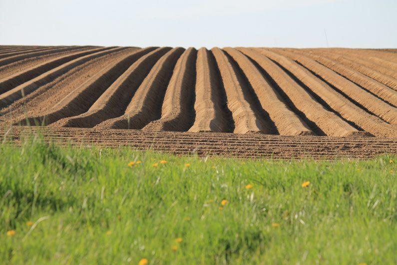 Sillons du champ de pommes de terre