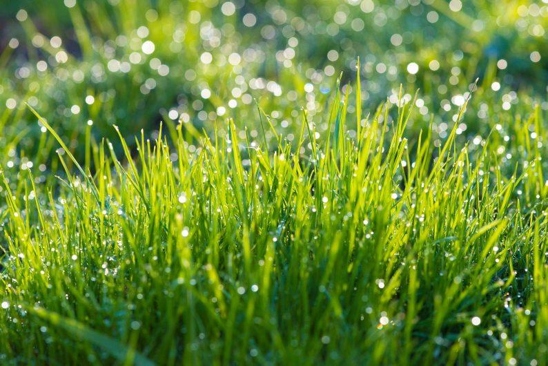 Rosée du matin sur l'herbe