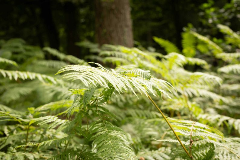 Les fougères de la forêt de Marchiennes
