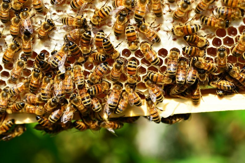 Les abeilles des ruches Embarek