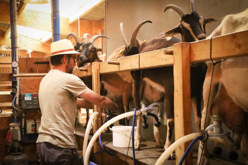 La traite des chèvres ©Karen Saint-Patrice