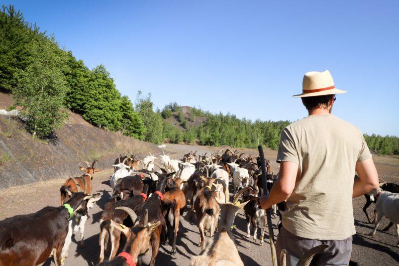 Les chèvrettes du terril ©Karen Saint-Patrice