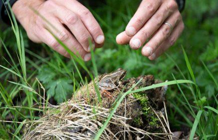 Fête de la grenouille des champs